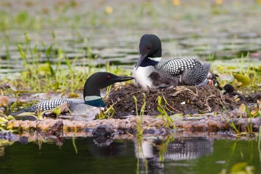 LMG_4598 Feeding chick on nest