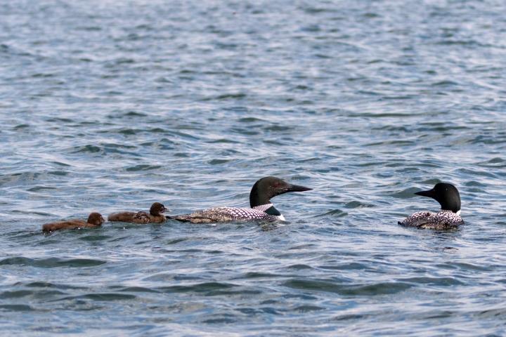 LMG 26337 Lake Tomahawk Kemp Rehab Chick Release